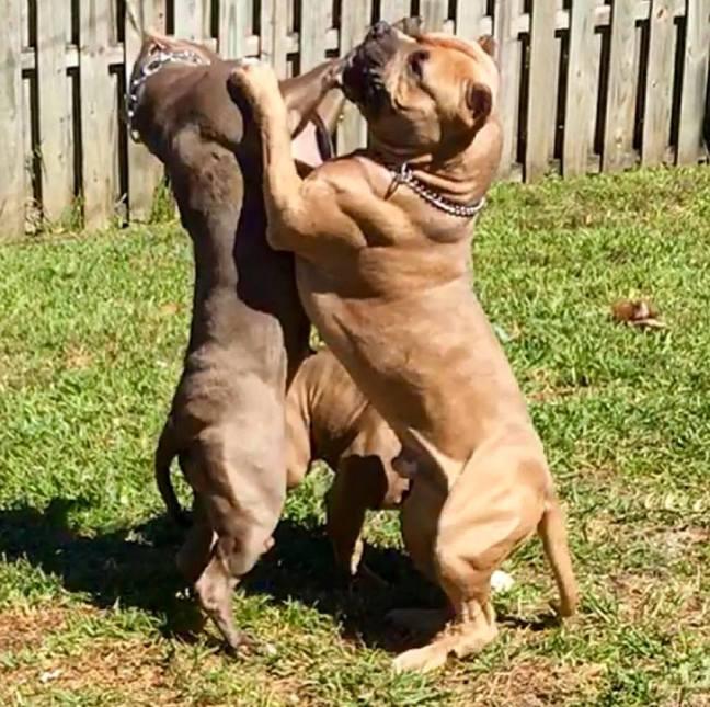 American Bully Pitbull XL Standard Pocket – American Bully